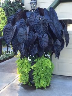Top 10 Shade Garden Plants for the Pacific Northwest - Black Gold Top 10 Shade . - Top 10 Shade Garden Plants for the Pacific Northwest – Black Gold Top 10 Shade Garden Plants for - Shade Garden Plants, Patio Plants, Outdoor Plants, Shaded Garden, Blue Plants, Spring Plants, Gothic Garden, Gold Top, Black Gold