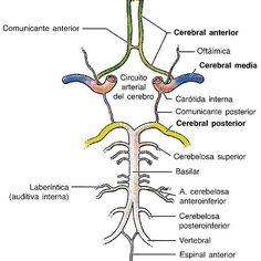 POLÍGONO DE WILLIS La anastomosis entre las arterias carótidas internas y la basilar forman el polígono de willis encargado de la irrigacion del encéfalo.