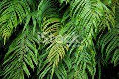 Native New Zealand 'Kiokio' Fern Royalty Free Stock Photo Royalty Free Images, Royalty Free Stock Photos, Abel Tasman National Park, Green Marketing, Lush Green, Image Now, Ferns, New Zealand, Plant Leaves