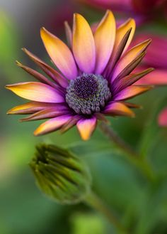 Early One Morning by Alan Shapiro Photography ~ African Daisy