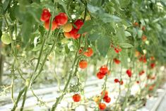 If you only have a small garden space to work with, be sure to take full advantage of upward space, and grow your crops vertically. Small Space Gardening, Garden Spaces, Small Gardens, Urban Gardening, Balcony Gardening, Fairy Gardens, Gardening Tips, Home Vegetable Garden, Tomato Garden