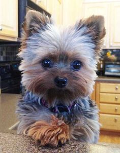 Yorkie Squared Puppy Cut