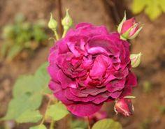 Tomurcuklu Fuşya Gül / Fuchsia Rose with Buds  Photo By www.nesedentarifler.com