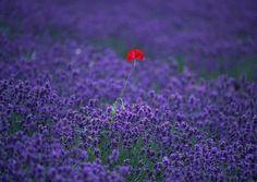 MariaJose: Flores comestibles
