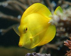 Yellow Tang,(Zebrasoma flavescens)Species Profile