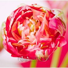 FiftyFlowers.com - Peony Tulips Bicolor Salmon Pink
