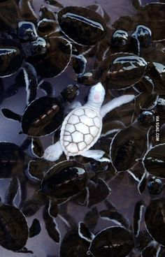 An albino baby turtle swims with green sea turtle babies in a pond