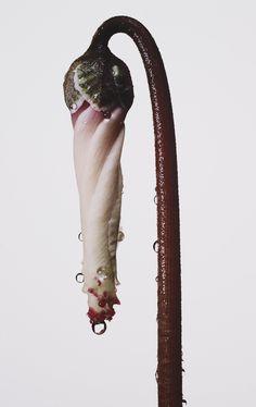 ce-sac-contient:  Irving Penn (1917-2009) -Persian Violet Cyclamen/ Cyclamen persicum (New York), ca 1973 Pigment print(53 x 34.9 cm)