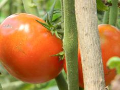 Secrets to Tomato-Growing Success: some great tips!