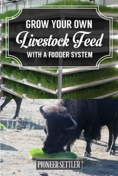 Check out Fodder System | How to Grow Your Own Livestock Feed on the Homestead at http://pioneersettler.com/fodder-system-grow-livestock-feed-on-the-homestead/