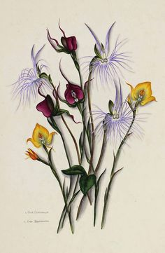 Flowers of South Africa, Cape Peninsula, Private portfolio, unknown artist. Botanical Interior, Botanical Prints, Floral Prints, Art And Illustration, Natural Forms, Tropical Flowers, Botany, Trees To Plant, Damask