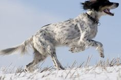 Best Dogs for Runners Setter Puppies, Dogs And Puppies, Best Dog Breeds, Best Dogs, Group Of Dogs, Hunting Dogs, My Best Friend, English Setters, Passive Income