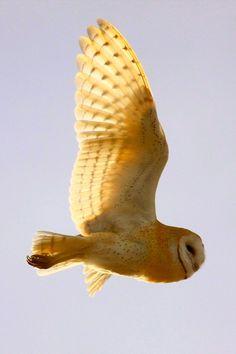 I love Barn Owls