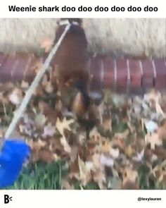 Funny Animal Videos, Funny Animal Pictures, Cute Funny Animals, Cute Baby Animals, Animals And Pets, Videos Funny, Dog Videos, Dachshund Funny, Dachshund Puppies