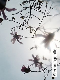 Bild: Tapeten - Sternmagnolie
