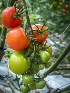 Aitoja tomaatteja joista voi lukea viimeisimmässä blogipostauksessa