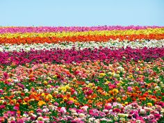 Flower Fields in Carlsbad, CA. One of my most favorite places to visit! It really IS this beautiful!