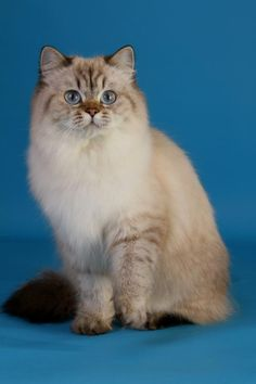 British Longhair - Femelle Seal Tabby Point - #cat #chat #britishlonghair…