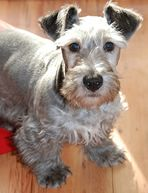 The Cesky Terrier is a short-legged, long-bodied dog with a shaggy coat. Its facial area is considerably bushy, including its eyebrows, mustache, and beard. Although they have a long body, it is not heavy. The head, while long, is not overly so. The ears are triangular in shape and are close to the head. The tail is undocked. Cesky Terriers are great apartment dogs and tend to be very calm indoors.