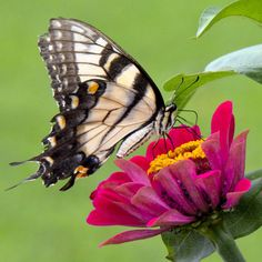 How to Bring Butterflies to Your Garden