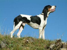 berner laufhund photo   laufhunden fotopagina 2