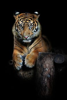 """l-eth-e: """"hutan (one-year-old-sumatran-tiger) , by-art-x """""""