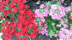 Red and pink Flowers.