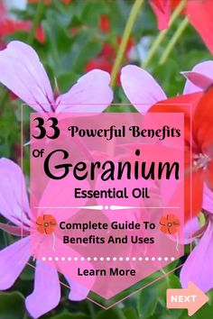 Top 33 Benefits Of Geranium Essential Oil Best Smelling Essential Oils, Making Essential Oils, Essential Oils Guide, Essential Oil Uses, Geranium Oil, Geranium Essential Oil, Oil Benefits, Health Benefits, Motivational Videos