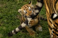 Playing with mom's tail by *Eltasia