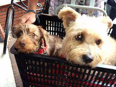 Trevor & Ziggy ❤️ Rest in Peace my Little Angels  Norfolk terriër and Dashund dapple doxie Teckel