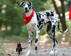 World's Tallest Dog - Bing images Animal Jokes, Funny Animal Memes, Dog Memes, Cute Funny Animals, Funny Cute, Funny Dogs, Funny Memes, 9gag Funny, Great Dane Funny
