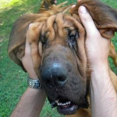 I Love Lucy! (this is one of our 16 month old Bloodhounds my little wrinkle butts!)