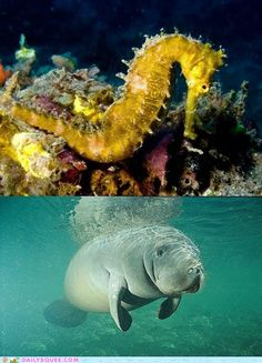 Seahorse vs. Manatee
