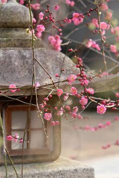 Japanese Plum blossoms ♥