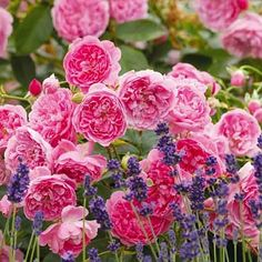A fabulous duo: Rose 'Harlow Carr' & Lavender 'Hidcote' Lavender Roses, Pink Roses, Pink Flowers, Delphinium Flowers, Rose Companion Plants, Lavender Hidcote, David Austin Rosen, Ground Cover Roses, Cranesbill Geranium