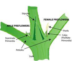 Sexing marihuana pflanzen