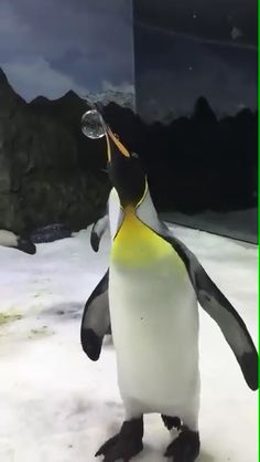 Awesome penguins - Funny Dog Quotes - The post Awesome penguins appeared first on Gag Dad. Cute Little Animals, Cute Funny Animals, Cute Dogs, Cute Animal Videos, Funny Animal Pictures, Penguin Pictures, Cute Penguins, Penguin Love, Animals And Pets