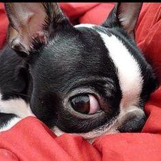 I Got My Eye On You ❤❤❤ from: http://bostonterrierworld.com/i-got-my-eye-on-you/