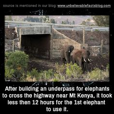 "unbelievable-facts: "" "" After building an underpass for elephants to cross the highway near Mt Kenya, it took less then 12 hours for the 1st elephant to use it. "" """