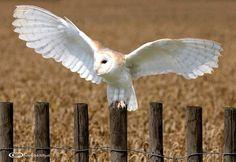 Barn Owl Preparing for his evening hunt, Kent UK