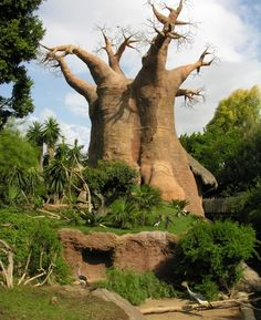 Lemurs live around this ancient Baobab tree inside the Bioparc in the center of Fuengirola - A favourite attraction among locals and tourists of the Costa del Sol!