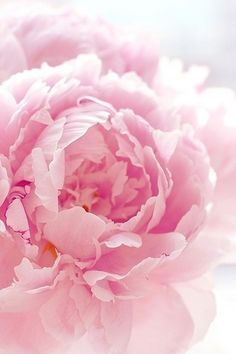 dreaming of Spring... peony