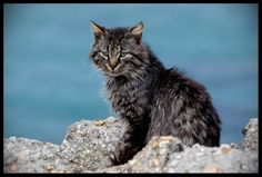 The cat ©Nono Pirvu Cat Pin, Tabby Cats, Animals, Animais, Animales, Animaux, Animal, Dieren