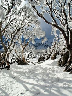 location, snowy mountains. GUM TREES