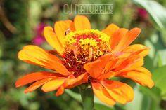 Zinnia Photograph, Orange Flower Photo, Floral Photography, Macro Photography, Fine Art, Nature Print, Orange Flower Print, Wall Decor