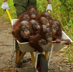Gli Orfani dell'olio di Palma Oranghi in carriola 2JUzF