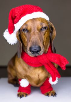 As a dachshund lover, you think that dachshunds are one of the loveliest animal in the world, right? Dachshunds are also called sausage dogs, wiener… Dachshund Funny, Dachshund Puppies, Weenie Dogs, Dachshund Love, Daschund, Christmas Animals, Christmas Dog, Christmas Dachshund, Merry Christmas