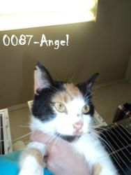Angel is an adoptable Calico Cat in Beckley, WV. This sweet little girl is ready to go home! She is a loving little girl. She loves attention. She would be a perfect kitty for you to have at home!...