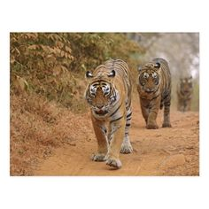 Royal Bengal Tigers walking along the track, Ranthambhor National Park, India Jagdeep Rajput / DanitaDelimont.com