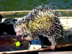 hedgehog at amazon